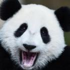 Pandaattack1